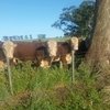 Poll Herefords  Bulls Deloraine  Blood