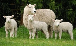 Paddock to Plate - Lamb Business FOR SALE