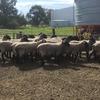 20x Black Suffolk Rams