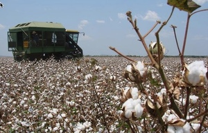 Cotton to surpass Rice in Southern NSW