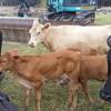 Murray Grey Cows and Calves