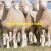 33 x 2yr old Penrose Poll Dorset Ewes