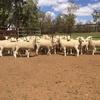 Border Leicester Rams