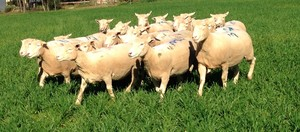42 White Suffolk Ewes (Scanned 192% in Lamb)