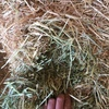 Barley hay high protein for sale