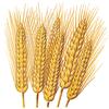 Seed Wheat x 50 m/t