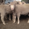 Super Fine Wool Polled Merino Rams x 8 Head