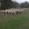 40 Poll Merino Rams