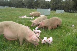 Australian pig farmers leaders in animal welfare
