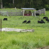 VEALERS, COWS AND DORPER LAMBS FOR SALE