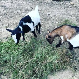 Miniature Australian Nigerian Dwarf Goats