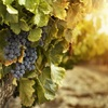 Ag success story - Wine sector worth a whopping $45.5 billion to the Australian economy