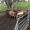 40 x Shorthorn Heifers Asking $3.60 Per KG Live Weight.
