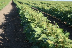 Cotton Australia has received 90 reports of Spray drift