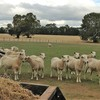 160 Wiltipoll Ewes