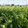 Irrigated Lucerne/Rhodes Grass Hay