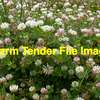 40m/t Balansa Clover Seed ex farm