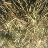 Wheaten Hay 8x4x3 - 1,000 x 540 KG Approx Bales & Shedded