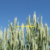 Cutlass Wheat