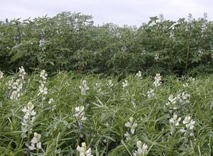 Two new high yielding Lupin varieties released - PBA Bateman and Murringo