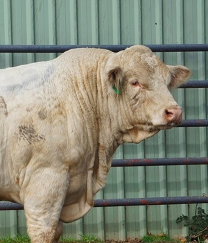 Rosedale Charolais, Composite and Heifer sale results