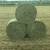 Grazing wheaten silage