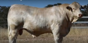 Moongool Charolais record $83,000 Bull