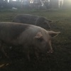 X breeding sows for sale