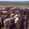 Agistment available for 200-400 head of Beef Cattle Asking $4.00+gst Per Head Per Week ONO.