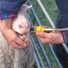 Mecardo Analysis - Lamb up mutton down