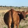 9 x Red Angus Heifers