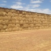 Wheaten Hay For Sale in 8x4x3's 100ton of