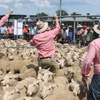 Ballarat Lamb and Sheep Market Pen Prices