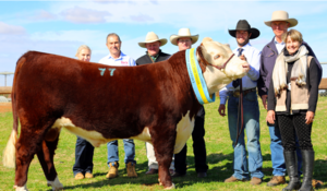 Herefords Australia National Sale at Dubbo top out at $32,000