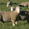 Barwon Poll Dorset and White Suffolk total clearance