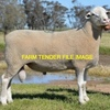 20 x White Suffolk Rams For Sale
