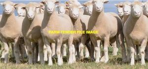 23 x 4yr old Penrose Poll Dorset Ewes