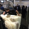 Finding new wool harvesting techniques is proving difficult