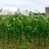 World Grain Report - Plummeting ethanol grind eroding global Corn demand…