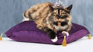 The Queen of Pamperdom. Cat with tiara