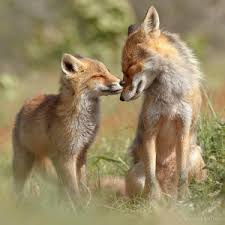 Fox mother and kit.