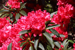 Red Rhododendrons at the Mendocino Coast Botanical Garden. Photo by Marion Deeds, 2019
