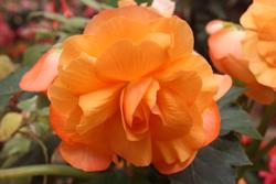 Begonia, Mendocino Coast Botanical Garden