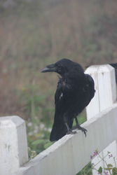 Raven on a Fence, Mendocino Village