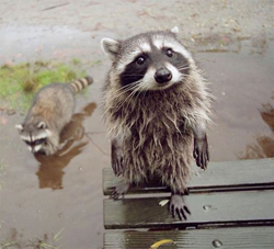 Two racoons in water, Image from Top13.net