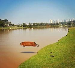 Capybara Leaps Into a River