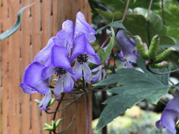 Aconitum hemsleyanum H2DM 056