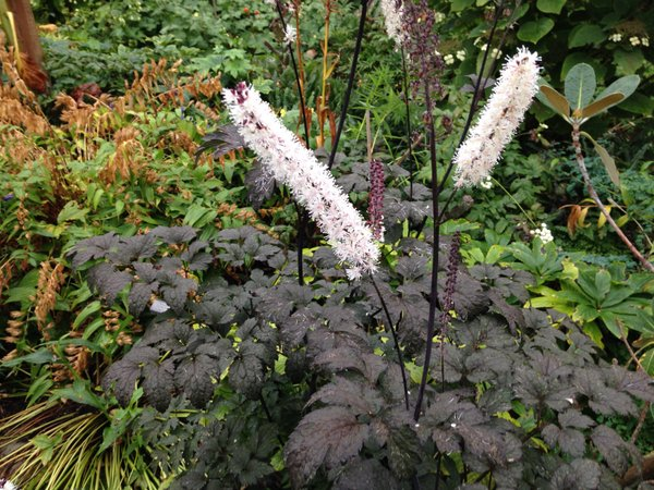Actaea 'Hillside Black Beauty'