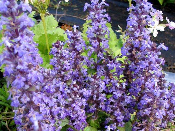 Ajuga 'Loie's Lavender'