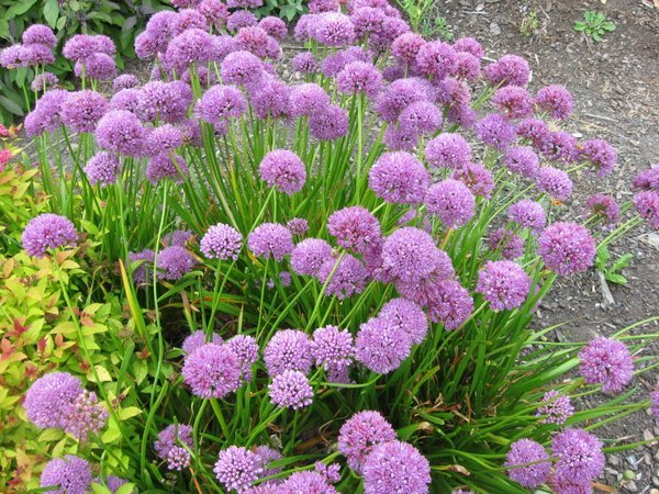 Allium 'August Confection'